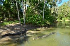 两盐水鳄鱼在河 免版税库存照片