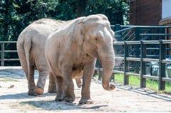 两看起来的大象可爱,在看的地面上的身分,用尘土报道的s在动物学公园 库存图片
