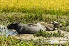 两睡觉在泥的水牛 库存照片