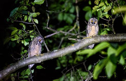 两短或长耳朵猫头鹰坐分支 库存图片
