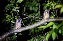 两短或长耳朵猫头鹰坐分支 库存照片