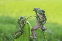 两矮胖的青蛙 免版税库存照片