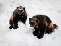 两种密歇根本地人,狼獾属狼獾属,与雪和白色背景 库存照片