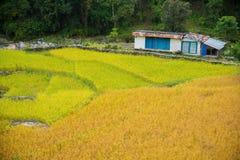 两种颜色稻田在安纳布尔纳峰保护区域,尼泊尔 免版税库存照片