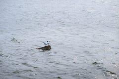 两站立在水和reflec的石头的黑朝向的鸥 免版税图库摄影