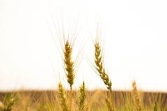 两粒大麦分支 图库摄影