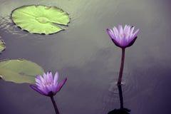 两紫色荷花 图库摄影