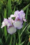 两紫色虹膜 免版税库存照片