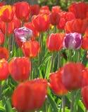 两紫色,在红色郁金香背景的白色郁金香 库存图片