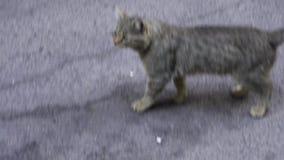 两红色和在街道上的灰色无家可归的猫在公园 在96 fps的慢动作 两离群灰色和坐红色的猫  股票录像