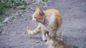 两红色和在街道上的灰色无家可归的猫在公园 慢的行动 影视素材