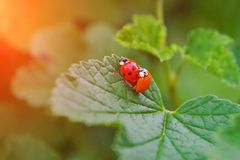 两红色和橙色瓢虫在叶子联接无核小葡萄干灌木,他们中的一个是,不用小点 免版税图库摄影