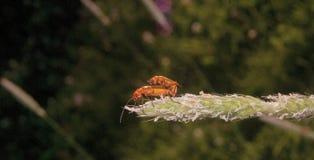 两红色昆虫 免版税库存图片