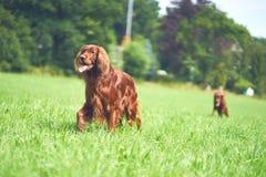两红色爱尔兰人的特定装置尾随走在草 免版税库存照片