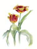 两红色特里郁金香,水彩剪影,被隔绝 免版税库存照片