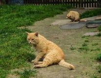 两红色猫坐道路在村庄 优等的风景 库存照片