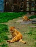 两红色猫坐道路在村庄 优等的风景 免版税库存照片