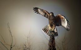 两红色被盯梢的鹰 免版税库存照片