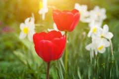 两红色郁金香 库存图片