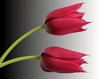 两红色郁金香 库存照片
