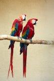 两红色金刚鹦鹉鹦鹉 免版税图库摄影