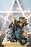 两约克夏狗坐一把椅子在有诗歌选的演播室 狗投入舌头 图库摄影
