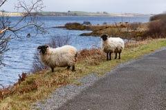 两绵羊、湖和植被在西部方式足迹在港湾Corrib 免版税库存图片