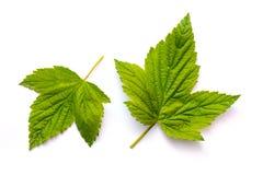 两绿色明亮的无核小葡萄干在一白色被隔绝的background_离开 库存图片