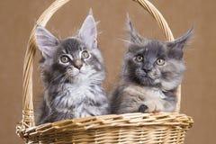 两缅因在篮子的浣熊小猫 免版税库存照片