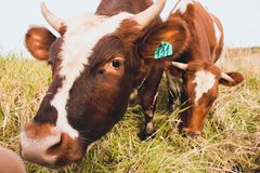 两美丽和幼小母牛吃在领域的草 母牛在农场居住 图库摄影