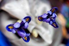 两美丽如画的明亮的虹膜,蓝色无限花卉不可思议的色彩特写镜头在抽象轻的背景的为 免版税图库摄影