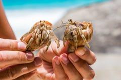两美丽的大寄居蟹在手中 库存图片