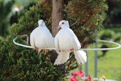 两美丽的白色和平的鸠、标志和爱 免版税库存图片