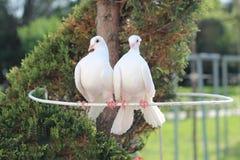 两美丽的白色和平的鸠、标志和爱 免版税库存照片