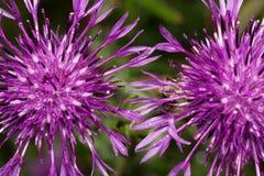 两美丽的蓟花在一个绿色草甸增长 活自然 库存照片