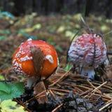 两美丽的被察觉的红色蛤蟆菌在森林沼地 免版税库存照片