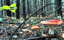 两美丽的被察觉的红色蛤蟆菌在森林沼地 图库摄影