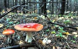 两美丽的被察觉的红色蛤蟆菌在森林沼地 库存图片