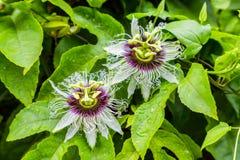 两美丽的西番莲果在绿色叶子背景开花  免版税库存图片
