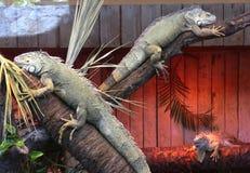两美丽的reptille照片 免版税库存图片