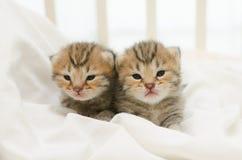 两美国人Shorthair新出生的小猫  库存照片