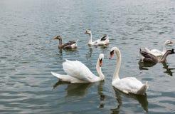 两美好白色天鹅游泳愉快在湖 免版税库存照片