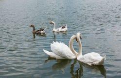 两美好白色天鹅游泳愉快在湖 图库摄影