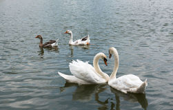 两美好白色天鹅游泳愉快在湖 库存照片
