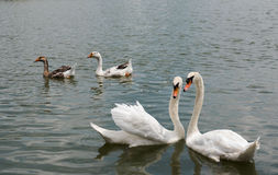 两美好白色天鹅游泳愉快在湖 免版税图库摄影