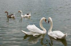 两美好白色天鹅游泳愉快在湖 免版税库存图片