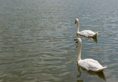 两美好白色天鹅游泳愉快在湖 库存图片