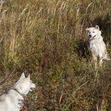 两美好的狗步行的日语秋田Inu和爱斯基摩在秋天 免版税库存照片