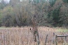 两美洲红翼鸫坐在树的分支 库存图片