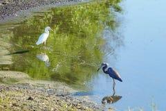 两美洲蛇鸟寻找食物 免版税库存照片